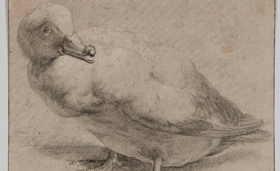 12Artysta holenderski | Dutch artist, Kaczka | A Duck, ok. | c. 1650   Czarna i biała kredka, papier żeberkowy szarobrunatny