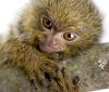 A może zamiast kota czy psa zafundować sobie małpkę? Słodkie spojrzenie marmozety karłowatej