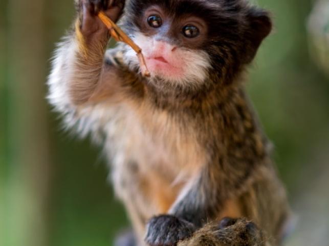 Młoda marmozeta