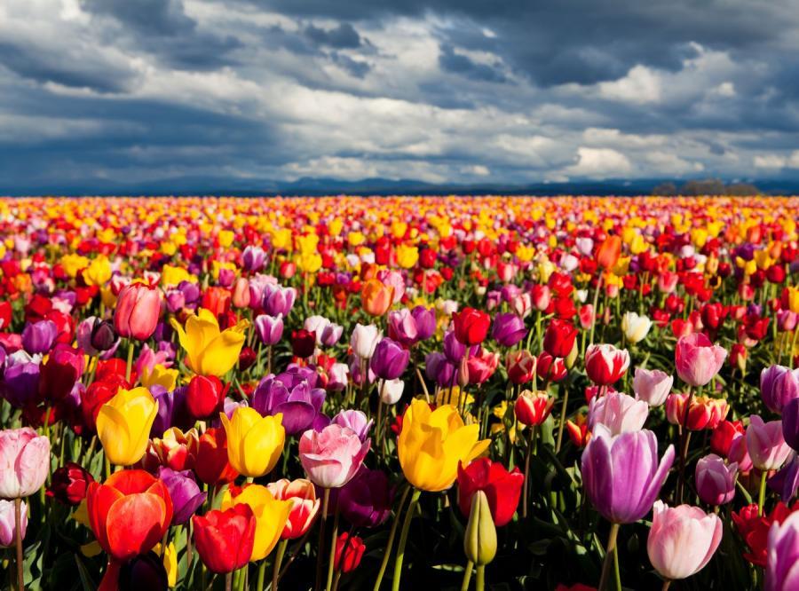 Pole pełne tulipanów