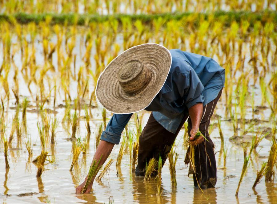 Chińczyk na polu ryżowym