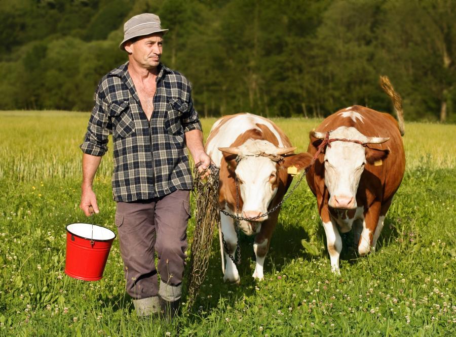 Rolnik i jego krowy