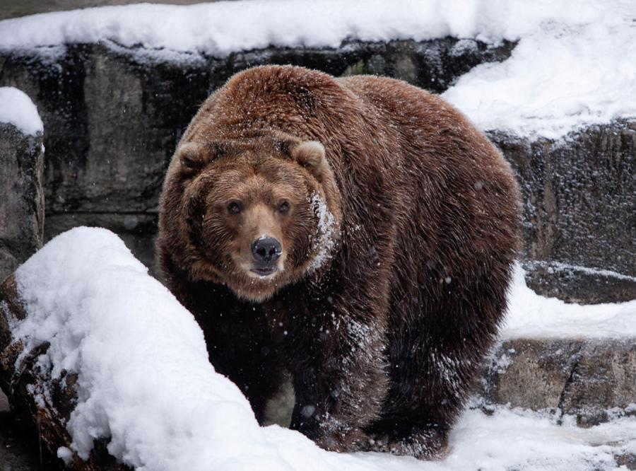 Niedźwiedź biega po Przemyślu. Trwa obława