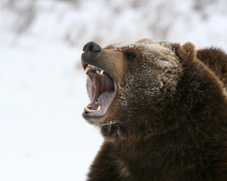 Niedźwiedź grizzly. Alaska