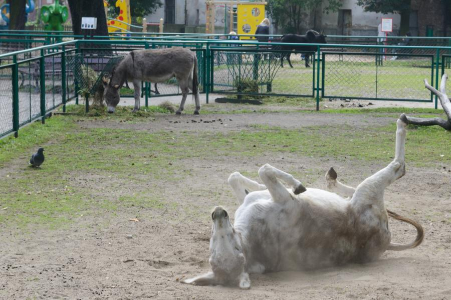 Poznańskie osły