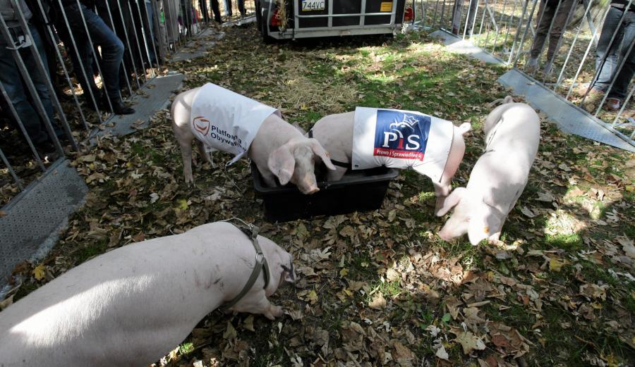 Świnie przed Sejmem