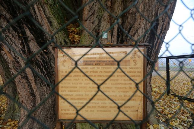 Kilkusetletnia lipa rosnąca w przy kościele pw. Przemienienia Pańskiego w Cielętnikach koło Dąbrowy Zielonej