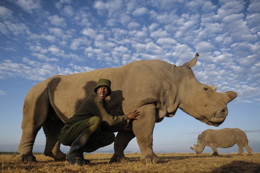Samica nosorożca białego północnego